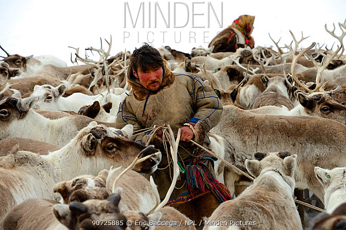 Sergue Chorolya, Nenet herder selecting draught Reindeer (Rangifer tarandus) from corral. Yar-Sale district, Yamal, Northwest Siberia, Russia. April 2016.