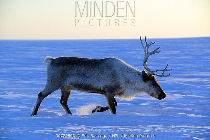 Reindeer (Rangifer tarandus) walking on snow covered tundra. Yar-Sale district, Yamal, Northwest Siberia, Russia. April.