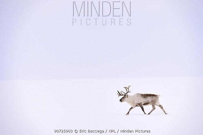 Reindeer (Rangifer tarandus) walking on snow in tundra. Yar-Sale district, Yamal, Northwest Siberia, Russia.  April.
