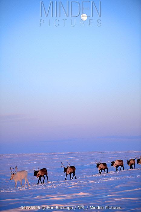 Reindeer (Rangifer tarandus) herd migrating in spring dusk under moon. Yar-Sale district, Yamal, Northwest Siberia, Russia. April.