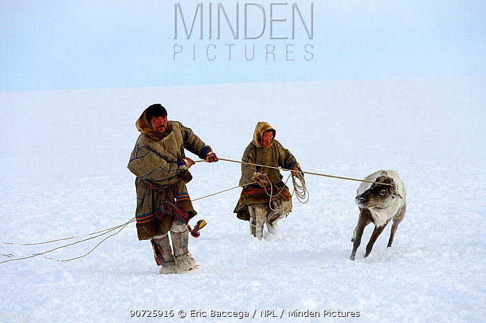 Nenet herders control Reindeer (Rangifer tarandus) with ropes and lasso. Yar-Sale district, Yamal, Northwest Siberia, Russia. April 2016.
