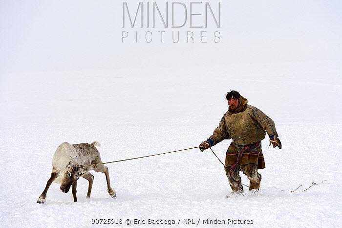 Nenet herder controlling Reindeer (Rangifer tarandus) on lasso. Yar-Sale district, Yamal, Northwest Siberia, Russia. April 2016.