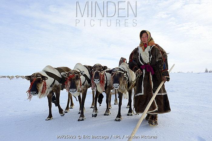 Ekaterina Yaptik, Nenet woman leading Reindeer (Rangifer tarandus) sleds on spring migration in tundra. Yar-Sale district, Yamal, Northwest Siberia, Russia. April 2016.
