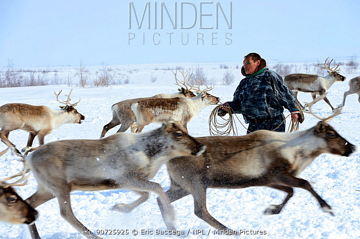 Nenet herder lassoing draught reindeers (Rangifer tarandus). Yar-Sale district, Yamal, Northwest Siberia, Russia. April 2016.