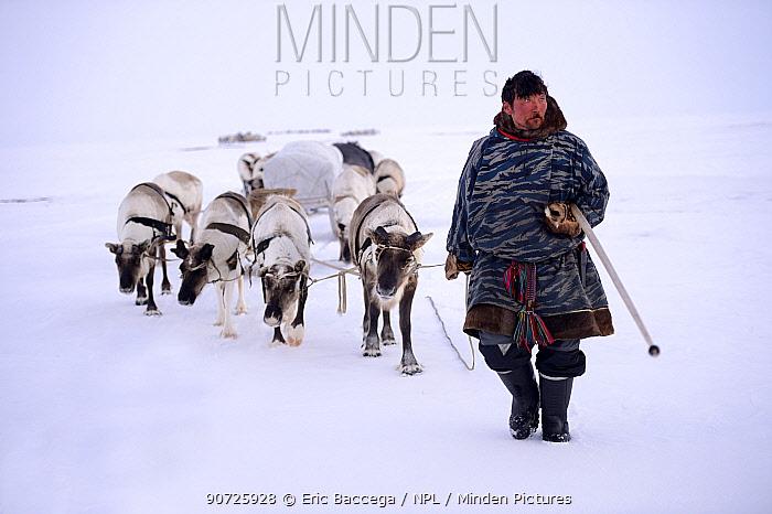 Sergue Chorolya, Nenet herder leading Reindeer (Rangifer tarandus) sleds on spring migration across tundra. Yar-Sale district, Yamal, Northwest Siberia, Russia. April 2016.
