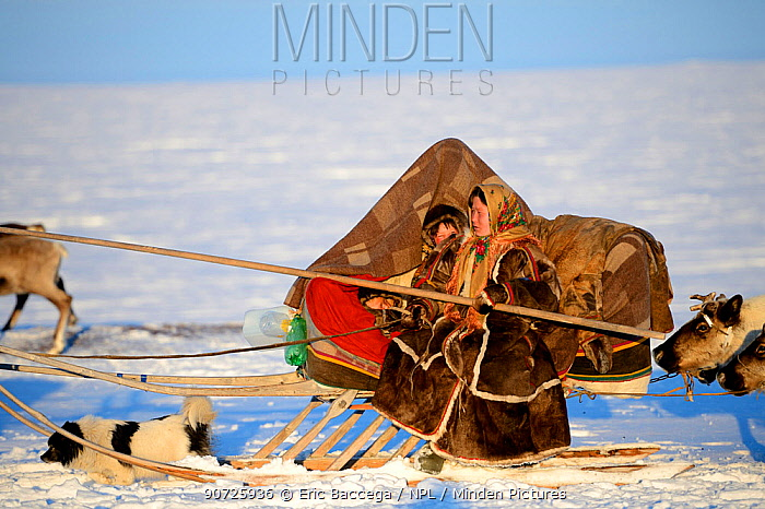 Nenet woman herding Reindeer (Rangifer tarandus) sleds across tundra with her dog and young child. Yar-Sale district, Yamal, Northwest Siberia, Russia. April 2016.