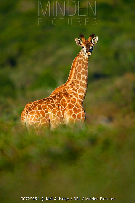 Young giraffe (Giraffa camelopardalis) standing in early morning light. Kariega Game Reserve, Eastern Cape, South Africa.