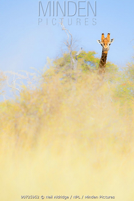 Distant giraffe (Giraffa camelopardalis) obscured by  vegetation. Selinda Reserve, Botswana.