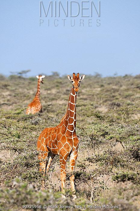 Reticulated Giraffe (Giraffa camelopardalis reticulata) pair stand in shrubland. Laikipia, Kenya. February.