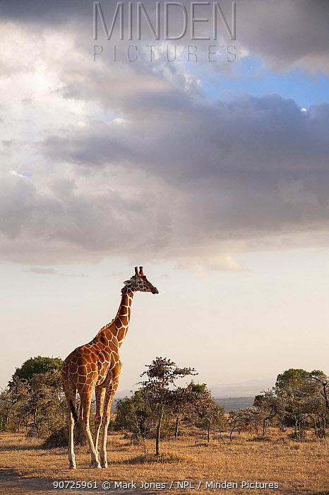 Reticulated Giraffe (Giraffa camelopardalis reticulata) stands on plains. Laikipia, Kenya. February.