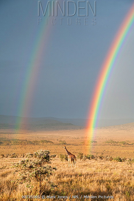 Reticulated Giraffe (Giraffa camelopardalis reticulata) in distance on savanna with double  rainbow at onset of rainy season. Laikipia, Kenya. February.
