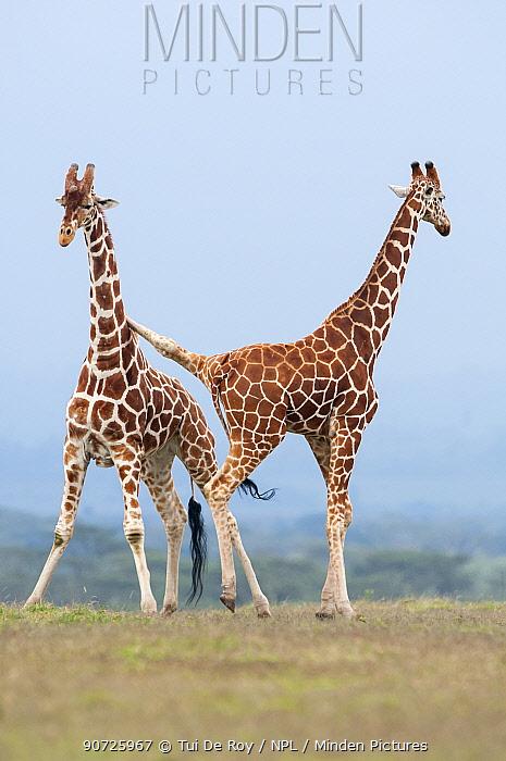 Reticulated Giraffes (Giraffa camelopardalis reticulata) pair stand together. Laikipia, Kenya.