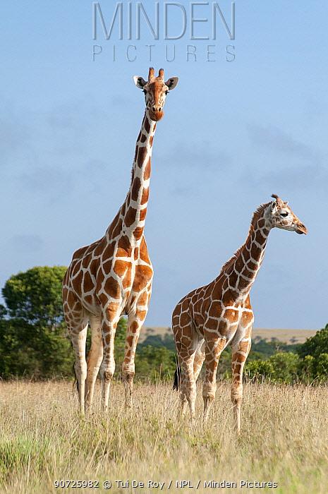 Reticulated Giraffe (Giraffa camelopardalis reticulata) young standing with mother, Laikipia, Kenya. October.