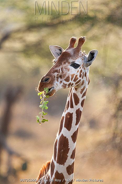 Reticulated Giraffe (Giraffa camelopardalis reticulata), chewing. Laikipia, Kenya.