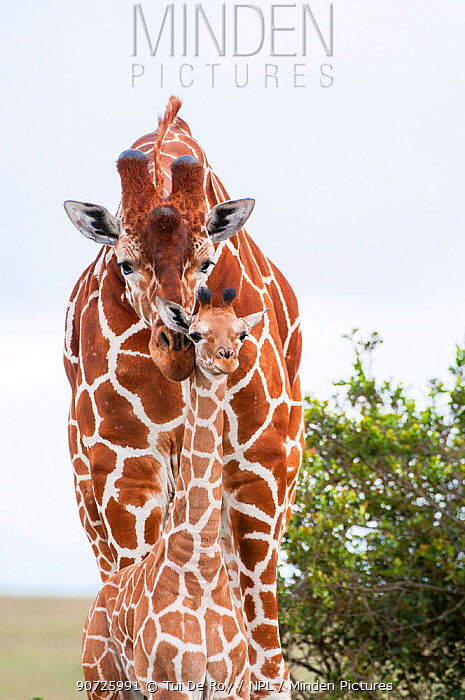 Reticulated Giraffe (Giraffa camelopardalis reticulata), young standing with mother, Laikipia, Kenya