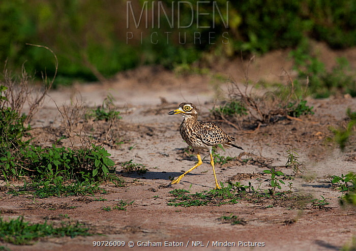 Stone Curlew or Spotted Thicknee (Burhinus capensis) at  dry watering hole. Murchison Falls National Park, Uganda, Africa. April.