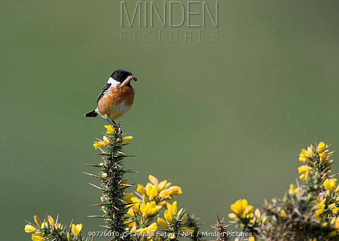 Male Stonechat (Saxicola rubicola) on gorse with grub in beak. Abersoch, Wales, UK. May.