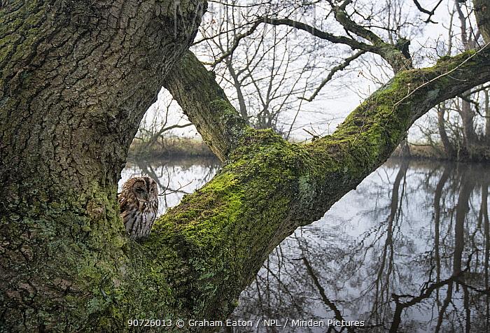 Tawny Owl (Strix aluco) sitting on branch of  tree. Cheshire, England, UK. September.