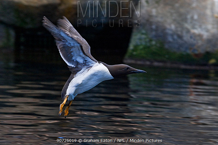 Guillemot (Uria aalgae) preparing to land on sea. Cardigan Bay, Wales, UK. June.