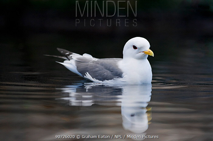Red-legged Kittiwake (Rissa brevirostris) on sea. Alaska, USA. June.