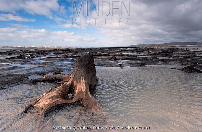Forest trees and peat, which were covered by the sea following the last ice age, exposed on beach at low tide, Borth, Wales. September.