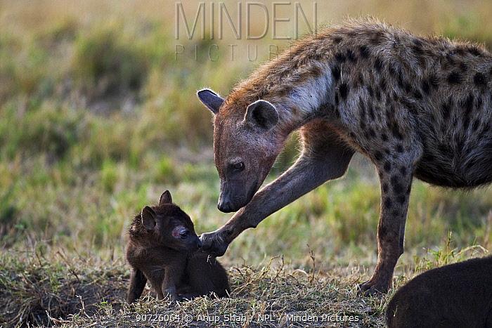 Spotted hyena (Crocuta crocuta) adult with a pup aged about month. Maasai Mara National Reserve, Kenya.
