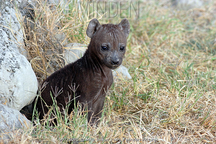 Spotted hyaena (Crocuta crocuta) young sitting outside den in early morning, Ngorongoro Crater, Tanzania.