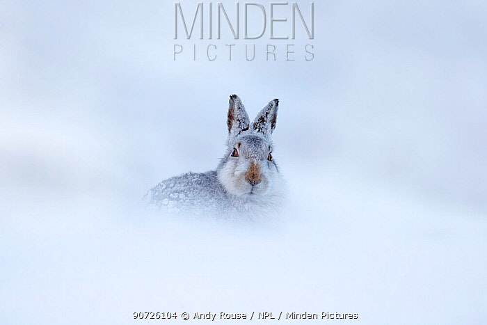 Mountain hare (Lepus timidus) in snow, Scotland, UK, December.