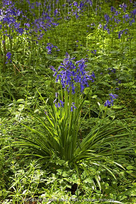 Bluebell (Hyacinthoides non-scripta) Garston Wood RSPB reserve near Shaftesbury, Dorset, UK May