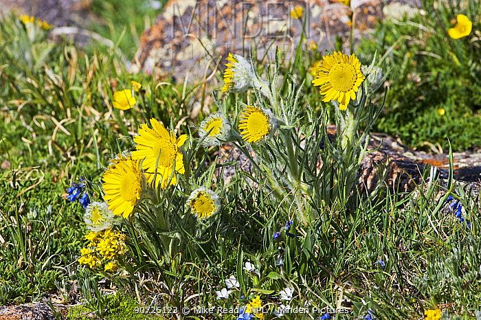Alpine sunflower (Tetraneuris grandiflora) Trailridge Road, Rocky Mountain National Park, Colorado USA June