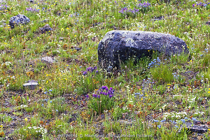 Alpine meadow near Mount Washburn, The Grand Loop, Yellowstone National Park, Wyoming USA June