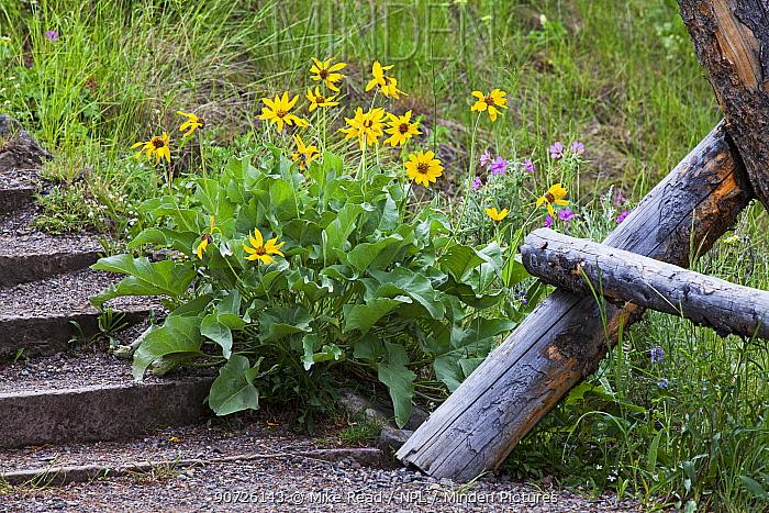 Arrowleaf balsamroot (Balsamorhiza sagittata) beside steps near Undine Falls, Yellowstone National Park, Wyoming, USA June