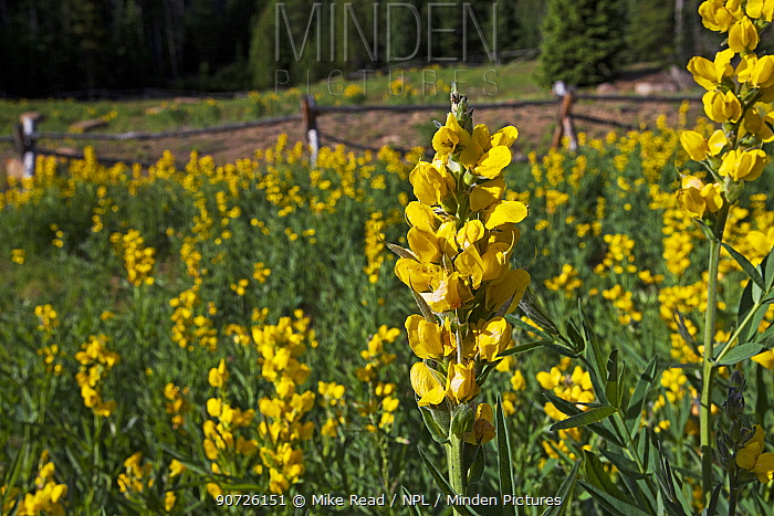 Mountain golden pea (Thermopsis montana) Hidden Valley, Rocky Mountain National Park, Colorado, USA June