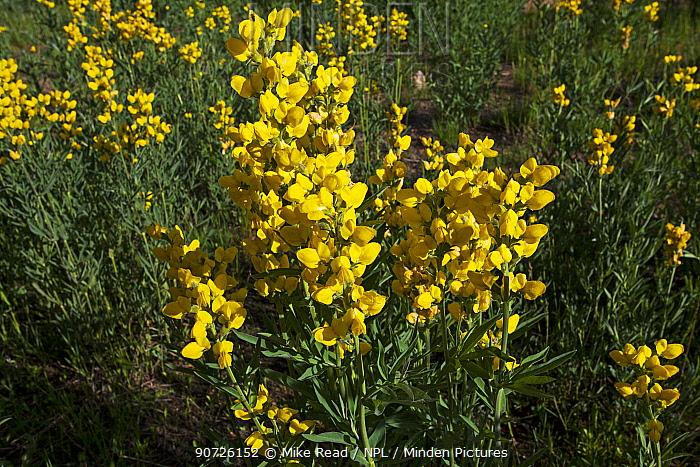Mountain golden pea (Thermopsis montana) Hidden Valley, Rocky Mountain National Park, Colorado, USA June