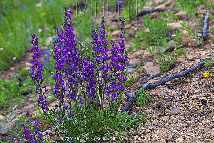 Purple locoweed (Oxytropus lambertii) on roadside verge, Rocky Mountain National Park, Colorado USA June