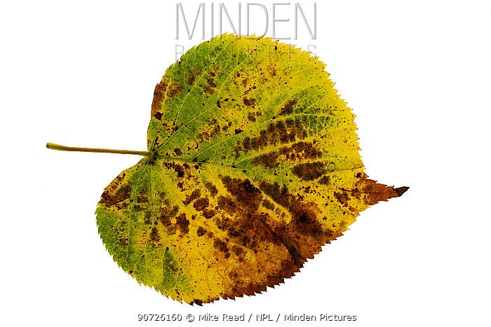 Common lime (Tilia x vulgaris) individual leaf on lightbox Ringwood Hampshire UK October