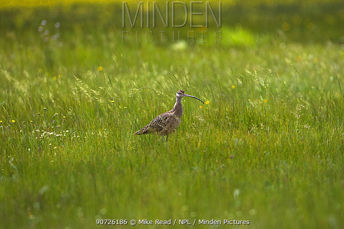 Long-billed curlew (Numenius americanus) amongst grasses, Red Rocks Lake National Wildlife Refuge, Centennial Valley, Montana, USA June