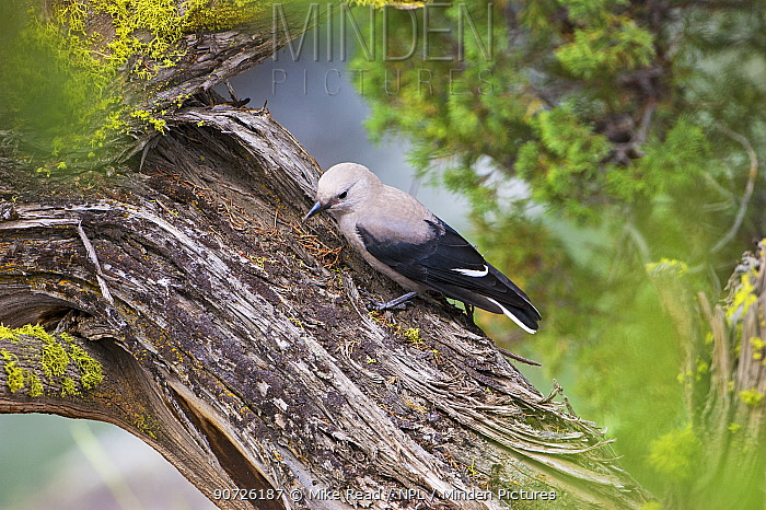 Clark's nutcracker (Nucifraga columbiana) juvenile in pine tree, Lamar Valley, Yellowstone National Park, Wyoming, USA, June