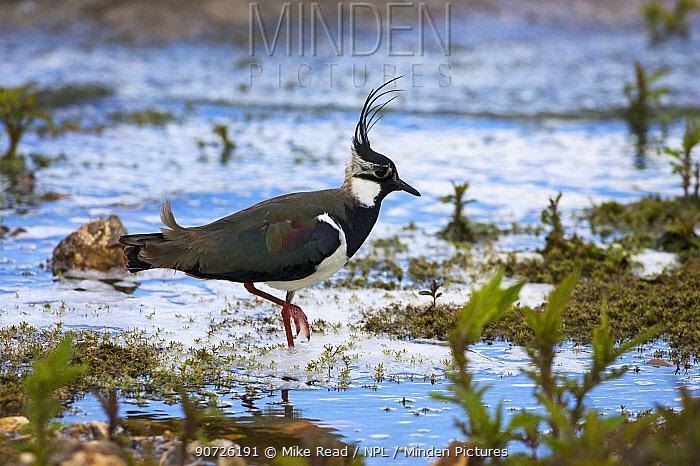 Northern lapwing (Vanellus vanellus) adult wading in Blashford Lakes Nature Reserve near Ringwood, Hampshire, UK May
