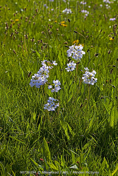 Cuckoo flower (Cardamine pratensis) and Ribwort plaintain (Plantago lanceolata) flowering in water meadows, Ringwood, Hampshire, UK April