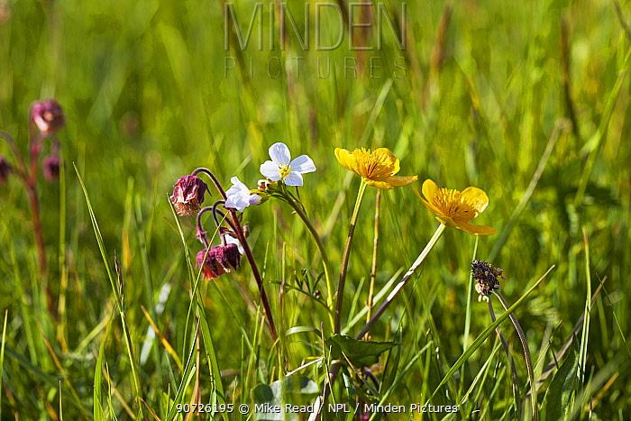 Water avens (Geum rivale) Cuckoo flower (Cardamine pratensis) and Marsh marigold (Caltha palustris) flowering in water meadow, Ringwood, Hampshire, UK April