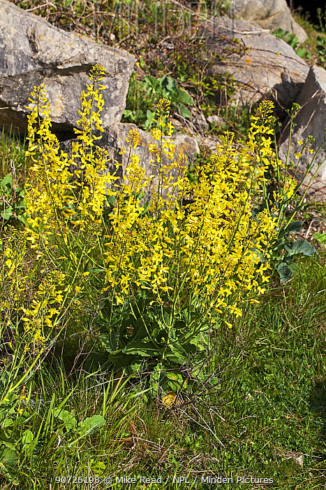 Wild cabbage (Brassica oleracea) flowering on sea cliffs at Winspit, Isle of Purbeck, Dorset, UK May