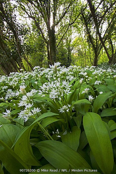 Ramsons (Allium ursinum) in flower, Garston Wood RSPB reserve near Shaftesbury Dorset, UK May