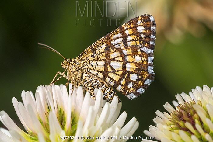 Latticed Heath moth (Chiasmia clathrata) on Clover flowers. Nordtirol, Austrian Alps. June.