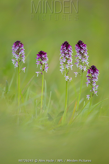 Burnt / Burnt-tip Orchid (Orchis ustulata) flowering in ancient alpine meadow. Nordtirol, Austrian Alps. June.