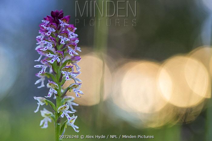 Burnt / Burnt-tip Orchid (Orchis ustulata) flowering in ancient alpine meadow at sunrise. Nordtirol, Austrian Alps. June.