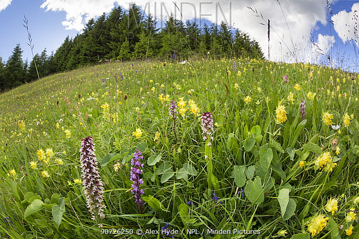 Burnt / Burnt-tip Orchid (Orchis ustulata), Fragrant Orchid (Gymnadenia conopsea) and Yellow Rattle (Rhinanthus sp.) flowering in ancient alpine meadow. Nordtirol, Austrian Alps. June.
