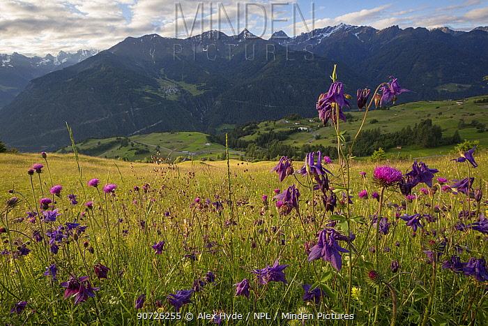 Dark Columbine (Aquilegia atrata) and Tuberous Thistle (Cirsium tuberosum) flowering in tradional hay meadow. Nordtirol, Austrian Alps. June.