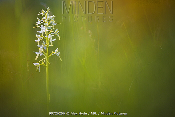 Lesser Butterfly Orchid (Platanthera bifolia) surrounded by Fragrant Orchids (Gymnadenia conopsea) Nordtirol, Austrian Alps. June.