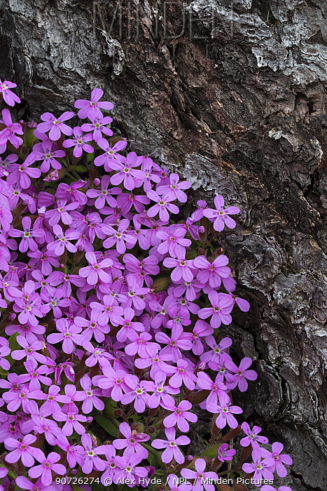Tumbling Ted / Rock Soapwort (Saponaria ocymoides) growing at the edge of a pine forest. Nordtirol, Austrian Alps. June.